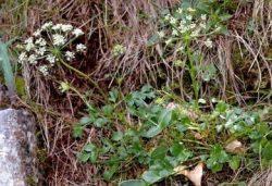 Хладникия (лат.Hladnikia Pastinacifolia)