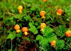 Морошка - типичное растение финской природы