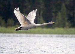 Лебедь-кликун в родной стихии