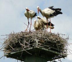 Аисты в своём гнезде