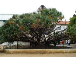 Драцена - самое старое дерево ботанического сада